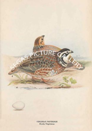 VIRGINIAN PARTRIDGE - Perdix Virginiana